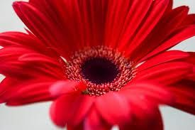 Gerbera Maxi Red Dark Eye