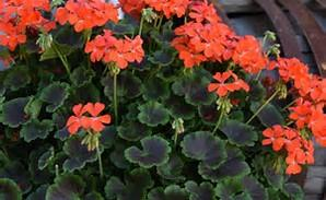 Geranium Brocade Fire Night