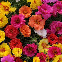 Portulaca 'Happy Hour mix'