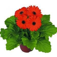 Gerbera Maxi Orange Dark Eye