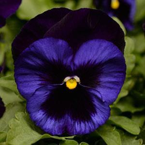 Pansy ()
