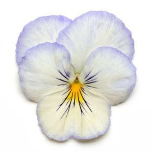 Pansy 'Cool Wave Frost'