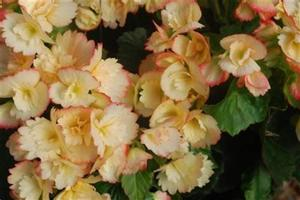 Begonia Rieger Janny Fringed - orange and cream