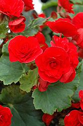 Begonia Rieger Red Baron