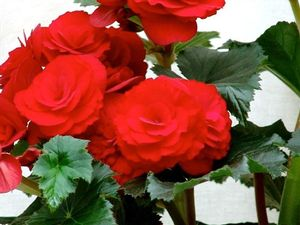 Begonia Rieger Barkos - red