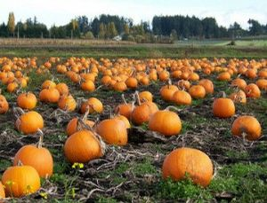 Fall Decor- Pumpkins 10-20#