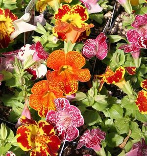 Mimulus Magic Blotch Mix