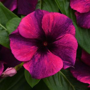 Vinca Tattoo Black Cherry