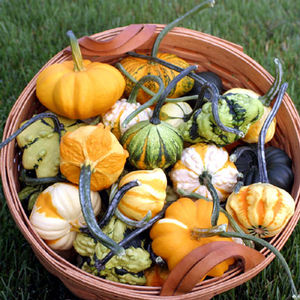 Fall Decor- Gourds 'Galaxy of Stars'