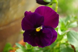 Pansy Pure Purple