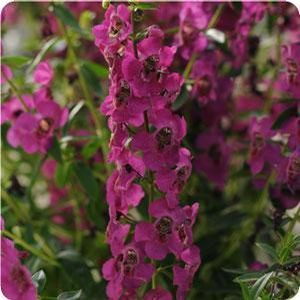 Angelonia 'Archangel Raspberry'