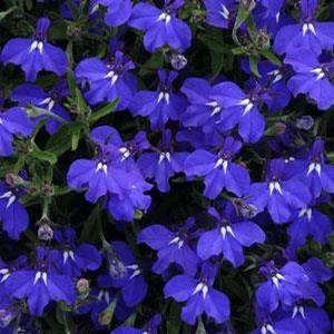Lobelia Early Springs Dark Blue