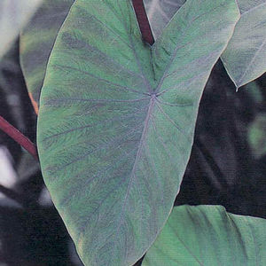 Colocasia Heart of the Jungle