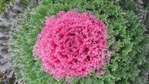 Ornamental Kale 'Glamour Red'