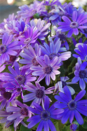 Pericallis Senetti Baby True Blue