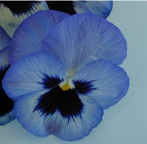 Pansy Blotch Blue