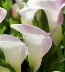 Calla Lily Pink Cloud