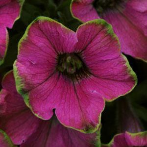 Petunia Lime Light