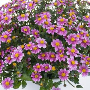 Bidens Pretty in Pink