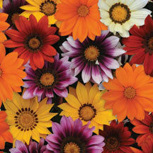 Gazania New Day Mix