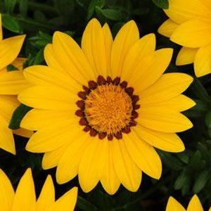 Gazania New Day Yellow