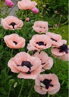 Papaver Princess Victoria Louise