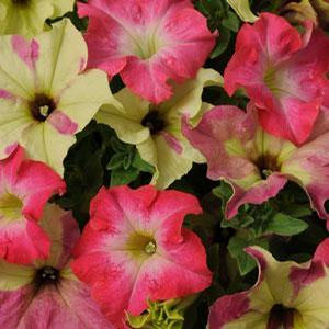 Petunia Fuseables Lime Coral