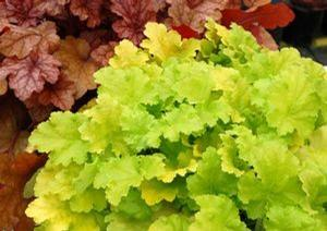 Heuchera Lime Rickey