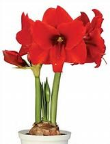 Amaryllis Safari - red
