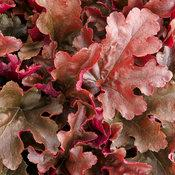 Heuchera Dolce Cinnamon Curls