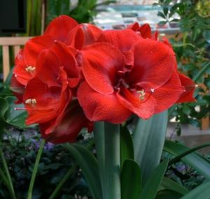 Amaryllis Merry Christmas - red