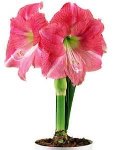Amaryllis 'Hollywood' pink