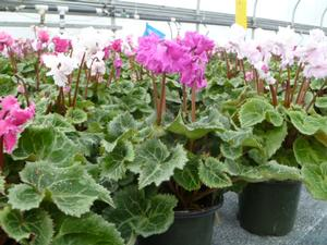 Cyclamen Mini Frilled Mix