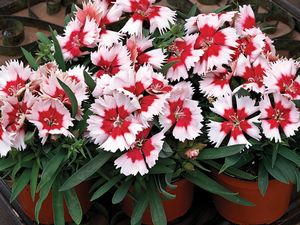 Dianthus Super Parfait Red Peppermint
