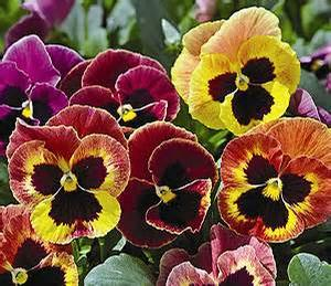 Pansy Blotch Warm Shades