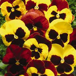 Pansy Autumn Blaze Mix