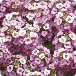 Alyssum Clear Crystals Lavender Shades