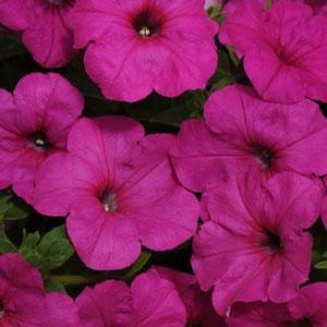 Petunia Easy Wave Neon Rose