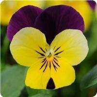 Viola Sorbet Yellow Jump Up XP