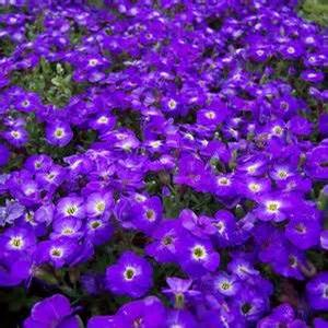 Aubrieta 'Axcent Blue with Eye'