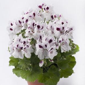 Geranium Aristo White with eye