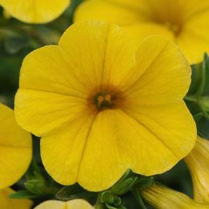 Calibrachoa Kabloom Yellow