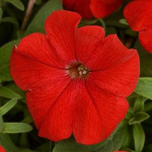 Basket Sun Petunia Headliner Red
