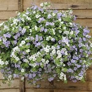 Basket Sun Bacopa Mix