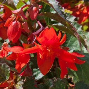 Basket Shade Begonia Fiery Orange