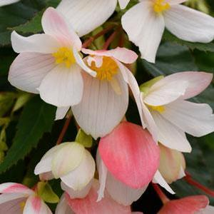 Basket Shade Begonia Marshmallow