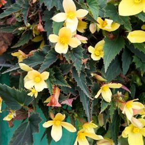 Basket Shade Begonia Mistral Yellow