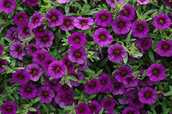Basket Sun Calibrachoa MiniFamous Neo Royal Blue