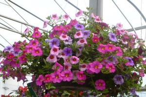 Basket Sun Calibrachoa MiniFamous Berry Mix