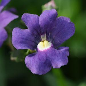 Nemesia Poetry Blue